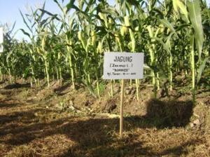 kamia adalah produsen, agen, suplier, distributor utama jagung manis pipilan terbaik saat ini